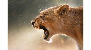 body-lang-lion-510